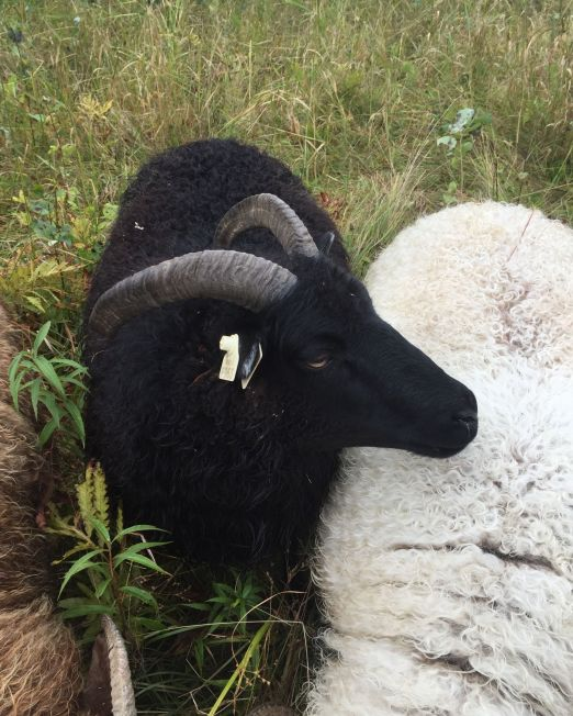 A black Icelandic ewe stands with her body towards the camera, with her head over the back of a creamy white Icelandic ewe, that has her head down and out of the picture.