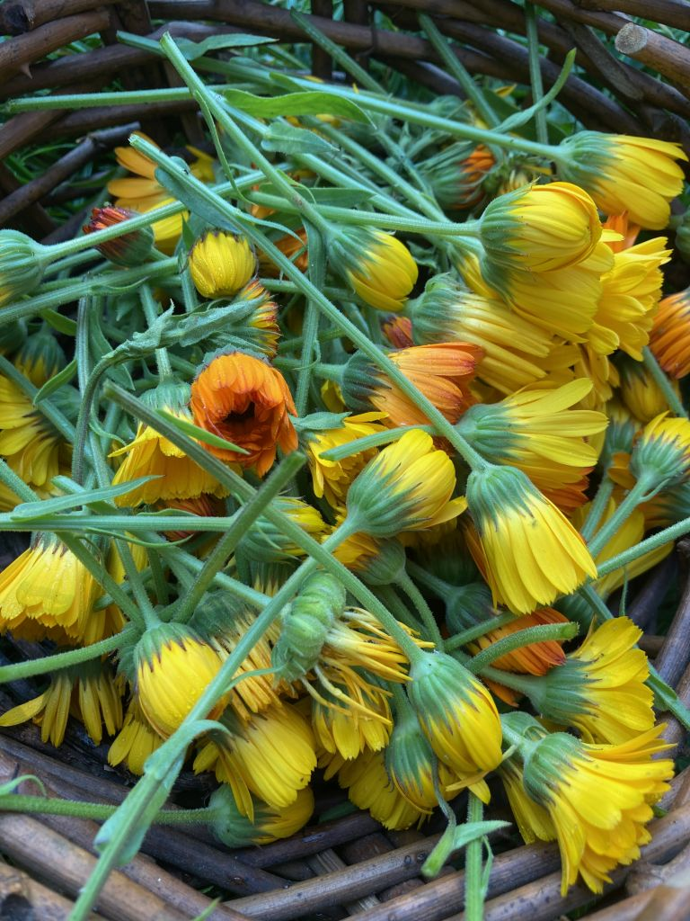 many yellow and orange calendula blossoms on their green stems, piled in a brown woven basket
